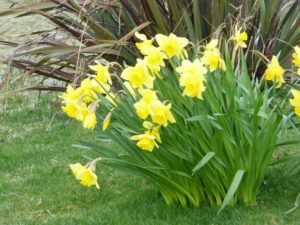 Aird Cottage :: Spring daffodils